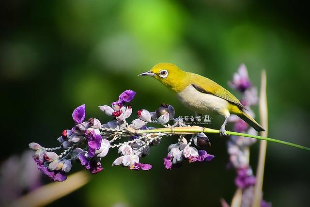 20170531 植物園-綠繡眼 (3), Nikon D5500, IX-Nikkor 60-180mm f/4.5-5.6