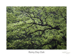 Rainy Day Oak