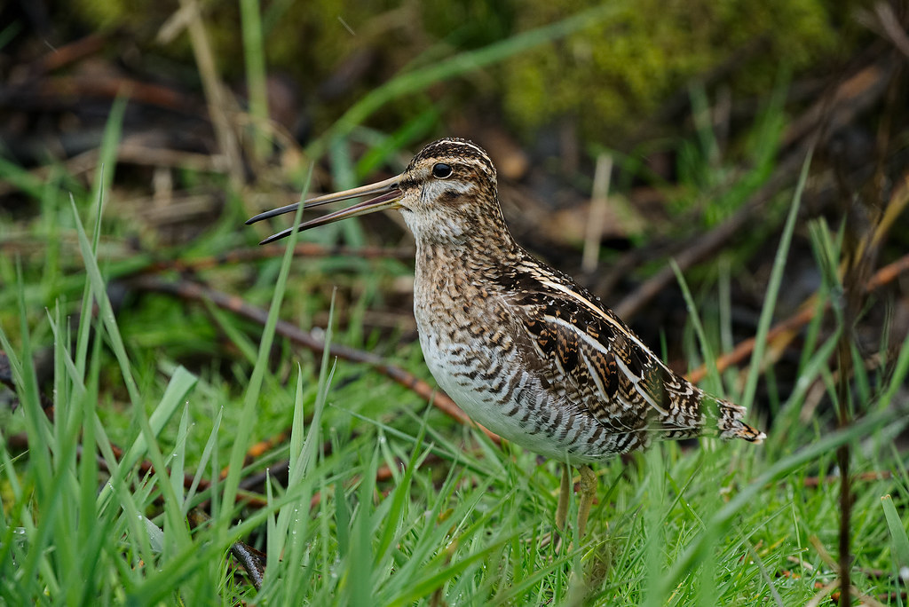 A snipe calls out as the rain comes down on a spring morning