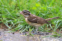 Rose-breasted Grosbeak, fem.