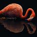 Caribbean Flamingo by Vin PSK