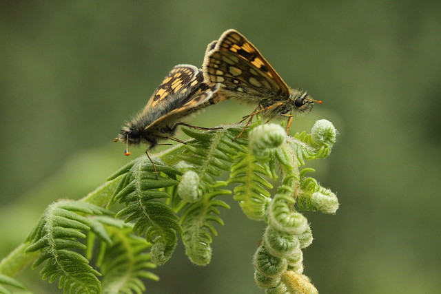 chequered skippers, Canon EOS 7D, Canon EF 100mm f/2.8 Macro USM