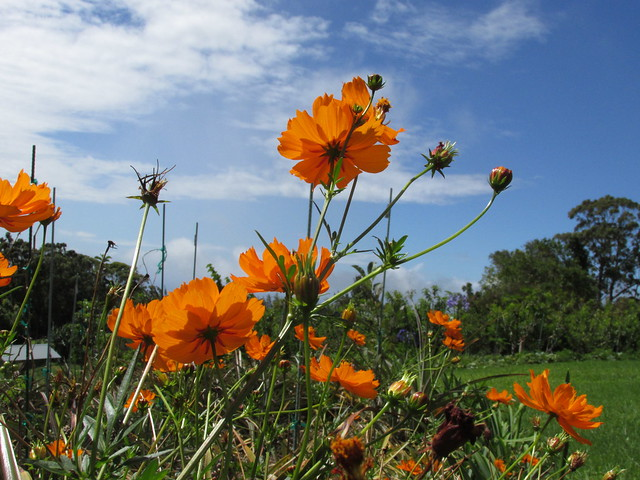 starr-170513-8637-Cosmos_sulphureus-flowers-Hawea_Pl_Olinda-Maui