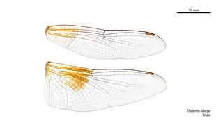 Tholymis tillarga male wings