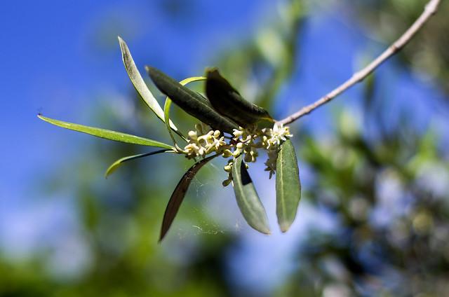 Fleurs d'olivier, Pentax K-5, smc PENTAX-FA 50mm F1.4