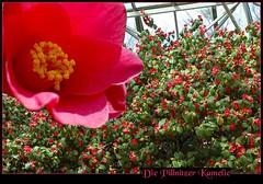 Kamelienhaus Pillnitz_Dresden....Camellia House