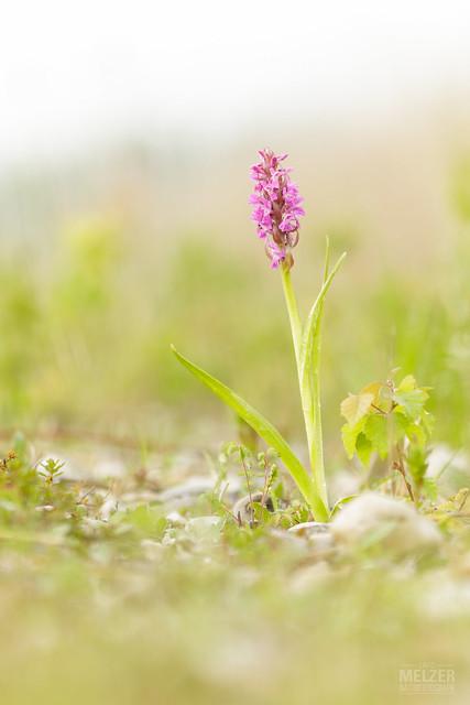 Fleischfarbenes Knabenkraut - Dactylorhiza, Canon EOS 7D MARK II, Sigma APO Macro 150mm f/2.8 EX DG HSM