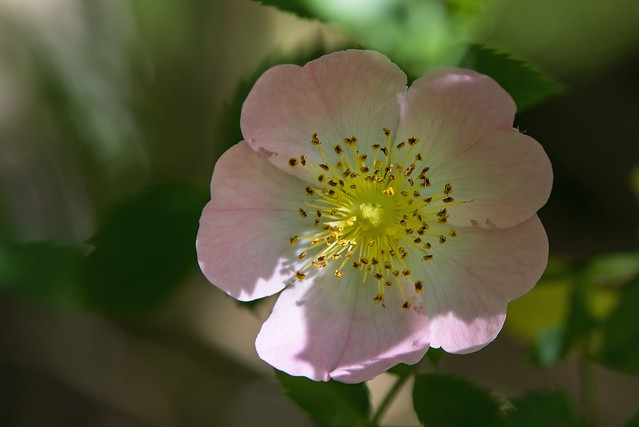 fleur de ronce commune -  Common bramble flower -  Brombeerstrauch Blume