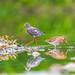 Spotted Redshank (Tringa erythropus) 鹤鹬 hè yù and Common Snipe (Gallinago gallinago) 扇尾沙锥 shàn wěi shā zhuī
