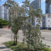 We are bringing silver-leaved buttonwoods to the Miami streetsides!