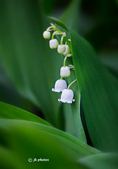 lily-of-the-valley-0238