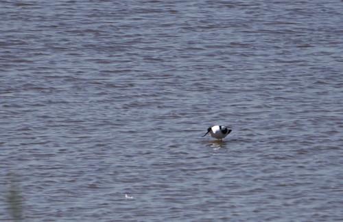 Kluut | Avocet |  Recurvirostra avosetta. Griedehoeke Natuurmonumentum fietstocht