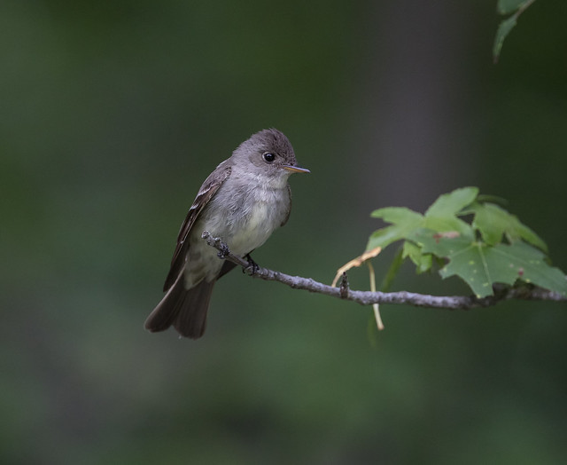 Eastern Wood-Pewee, Canon EOS-1D X MARK II, Canon EF 400mm f/4 DO IS II USM + 1.4x