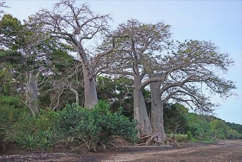baobabs dalbera sakouli mayotte plage grandeterre