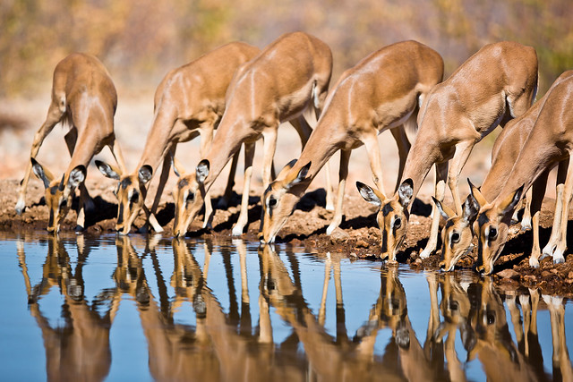 Female Impala at Water, Canon EOS 5D MARK III, Canon EF 400mm f/2.8L IS II USM