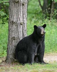 Bears-6