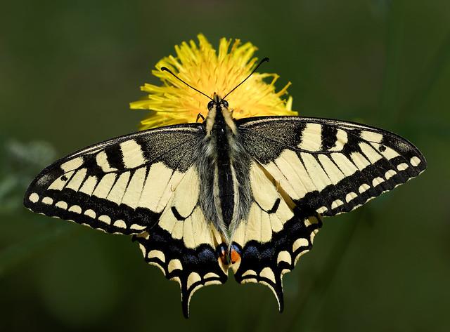 Swallowtail - Papilio machaon (Ritariperhonen)