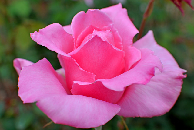 The pinky rose .