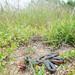 Pacific Ringneck Snake (Diadophis punctatus amabilis) by Chad M. Lane