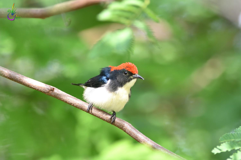 Scarlet-backed_Flowerpecker_8792