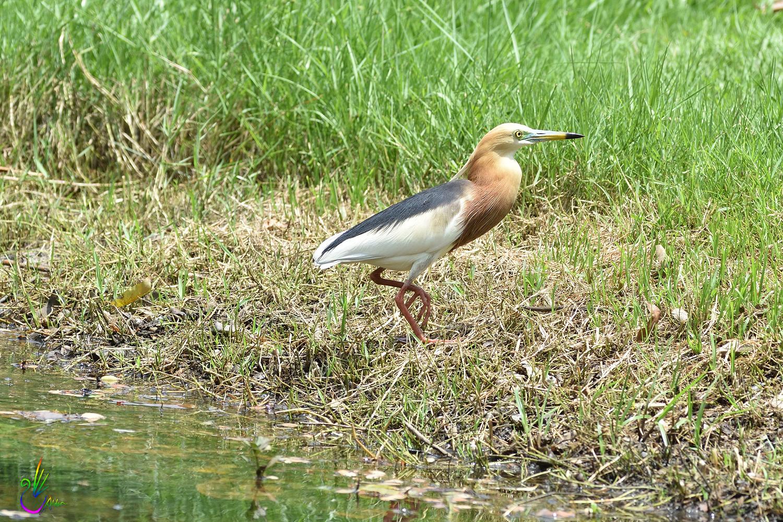 Javan_Pond_Heron_9679
