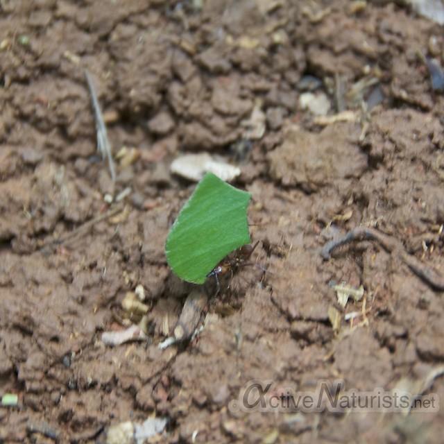 leaf-cutter ants 0001 Corcovado, Osa peninsula, Costa Rica