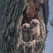 Great Horned Owl - owlets by Pauls Outdoors