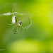 Orchard Orbweaver with lunch by dbifulco