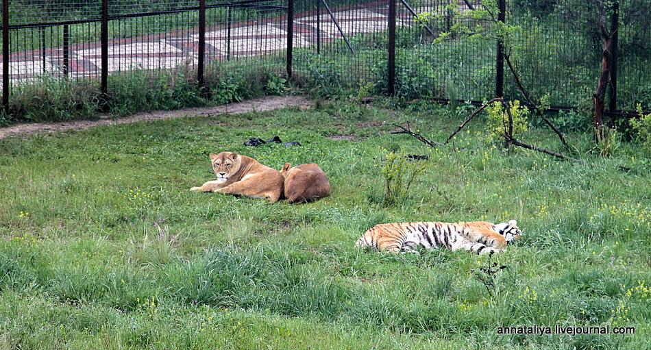 Львы и тигры заполонили Крымские степи!