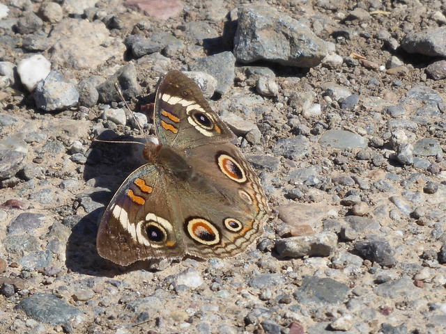 Common Buckeye Butterfly (Explored 06/19/2017), Panasonic DMC-ZS50
