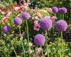 Peggy Rockefeller Rose Garden, The New York Botanical Garden