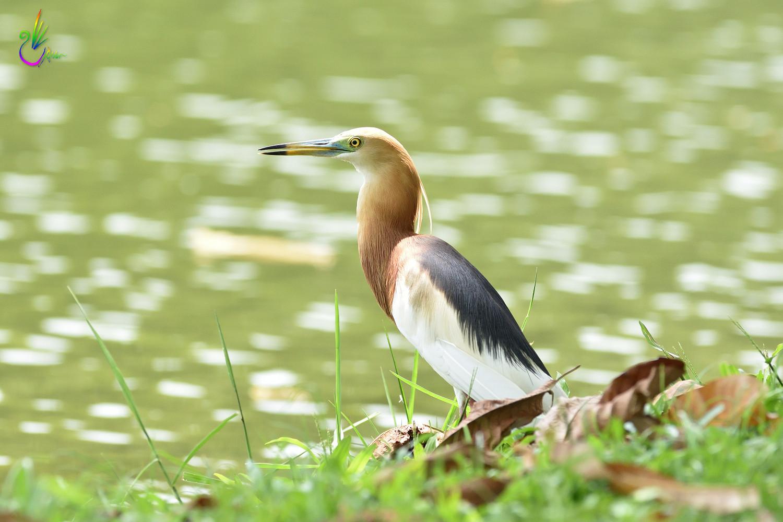 Javan_Pond_Heron_9748