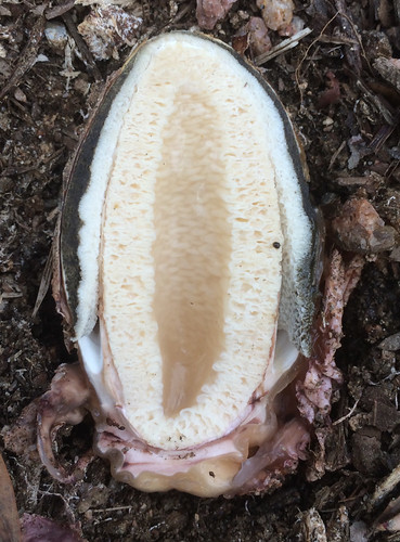 Mushroom Stinkhorn Phallus impudicus