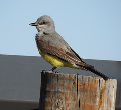 Western Kingbird (Tyrannus verticalis) DSCN9514-edit