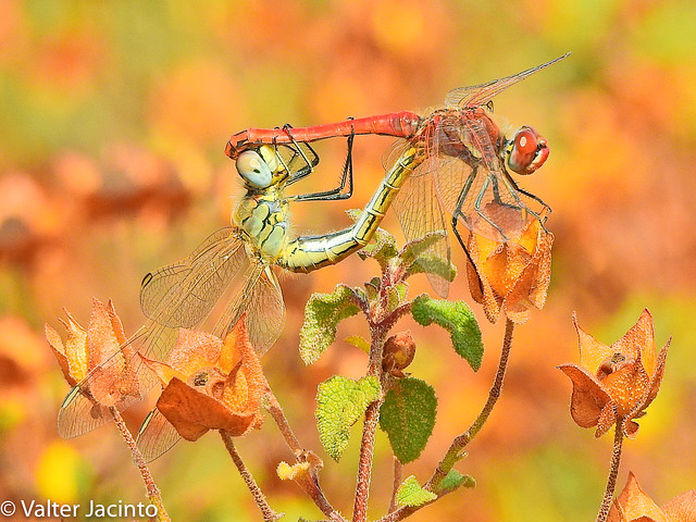 Simpétrum‑de‑nervuras‑vermelhas // Red-veined Darter (Sympetrum fonscolombii)
