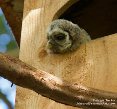 Barred Owlet in meditative mood