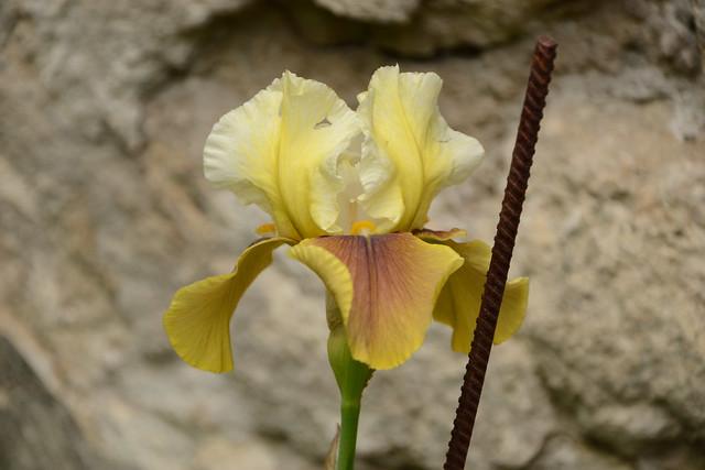 Iris 'Bayberry Candle' - Caroline DeForest 1966 34866167055_501c302ea9_z