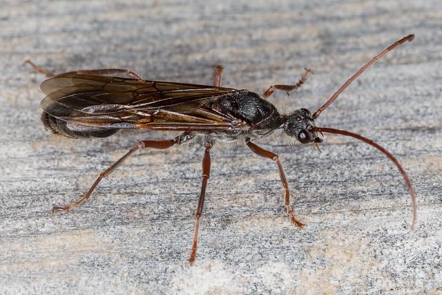 Myrmecia Male