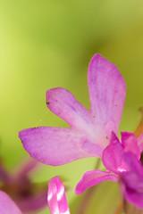 Orchis pyramidal - Photo of Éloise