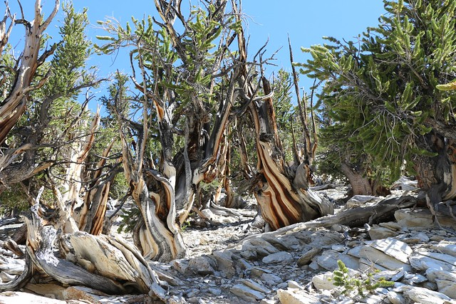 2668 Beautiful shapes and colors on the dead Bristlecone Pine stumps on the Methuselah Trail