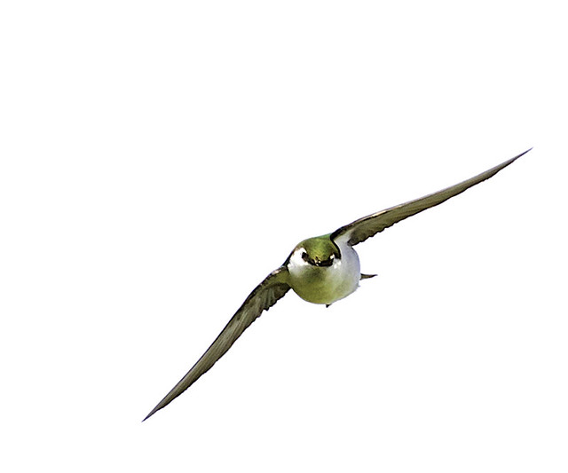 violet green swallow 6/9/17 -1