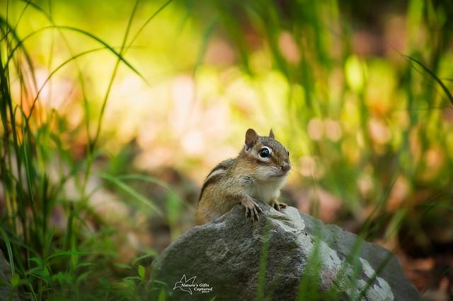 Chipmunk striking a pose :)
