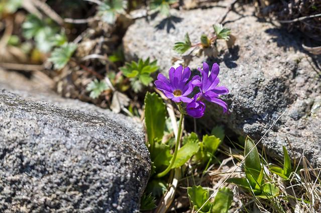 平標山のお花畑に咲くハクサンコザクラ