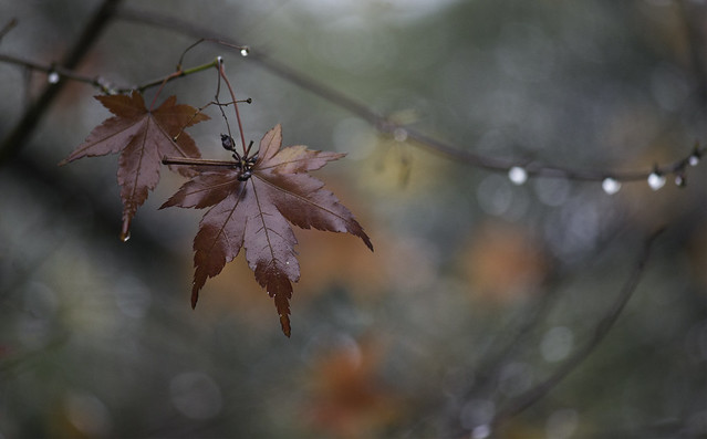Maples in autumn, Canon EOS 550D, Canon EF-S 55-250mm f/4-5.6 IS II