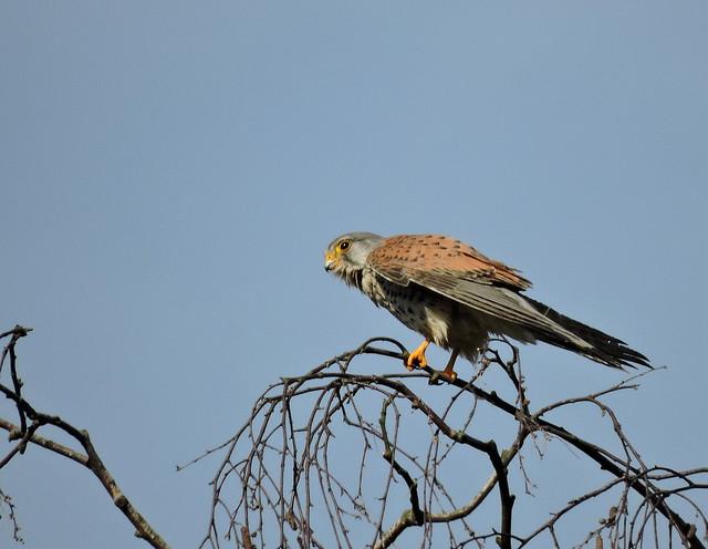 Turmfalke (Falco tinnunculus) (1), NGID749419102, Nikon COOLPIX P600