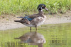 Young Wood Duck 6-23-2017