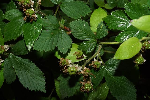 Rubus cuneifolius Pursh, Sony ILCA-68, Sony DT 30mm F2.8 Macro SAM (SAL30M28)