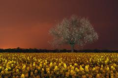 TREE IN A YELLOW FLOWER FIELD