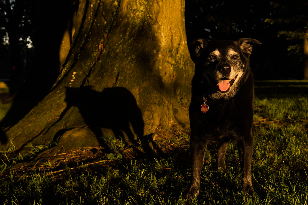 Our dog Ellie stands next to a tree in Irving Park in the morning light of summer