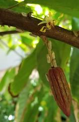 Cacao (Theobroma cacao): West Indian flatid planthopper (Melormenis basalis)